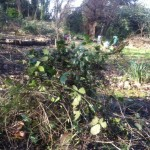 The start of our pile of cleared bramble