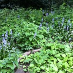 Recently planted bluebells in full flower competing with brambles and nettles.