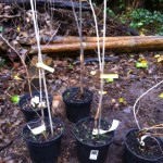 Our 5 elm saplings, ready to be planted.