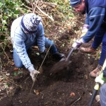Volunteers filling in the cleared trench with newly planted saplings