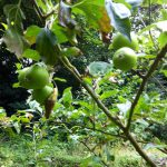Apple tree with small fruit