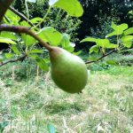 Pear tree with small fruit