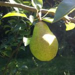 A Williams variety pear in good health