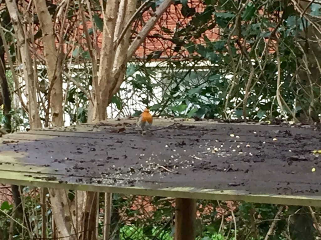 Robin next to the Shed