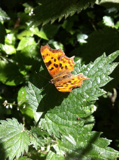 A butterfly perhaps a Comma?