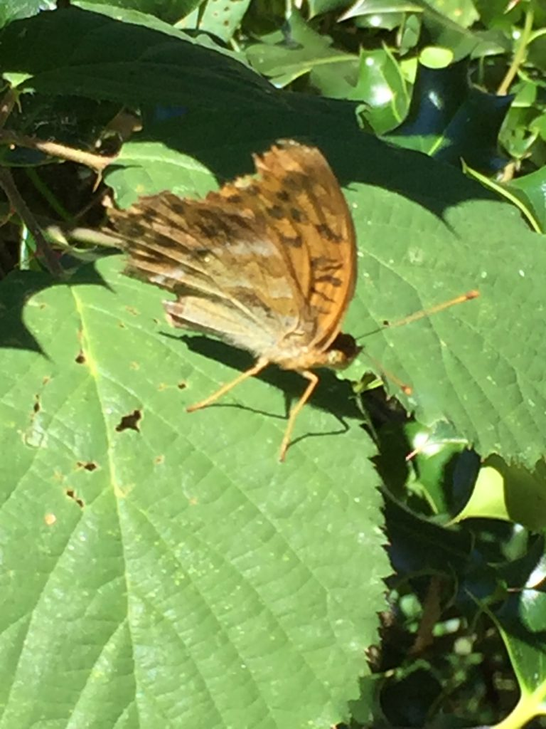 Butterfly on a bramble leaf