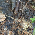 Woodland ants with eggs