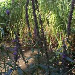 Purple loosestrife adjacent to the pond