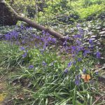 Newly planted bluebells in full bloom