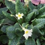 Primroses starting to flower