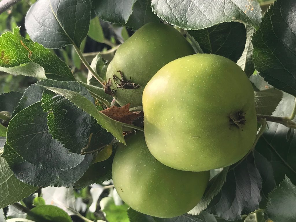 Apples growing well